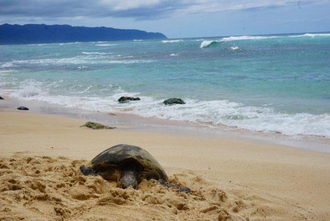 havajské ostovy oahu turtle bay