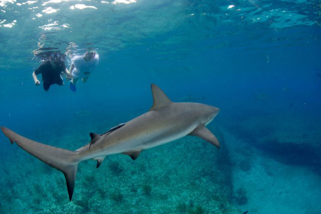 oahu havajské ostrovy haleiwa shark swimming