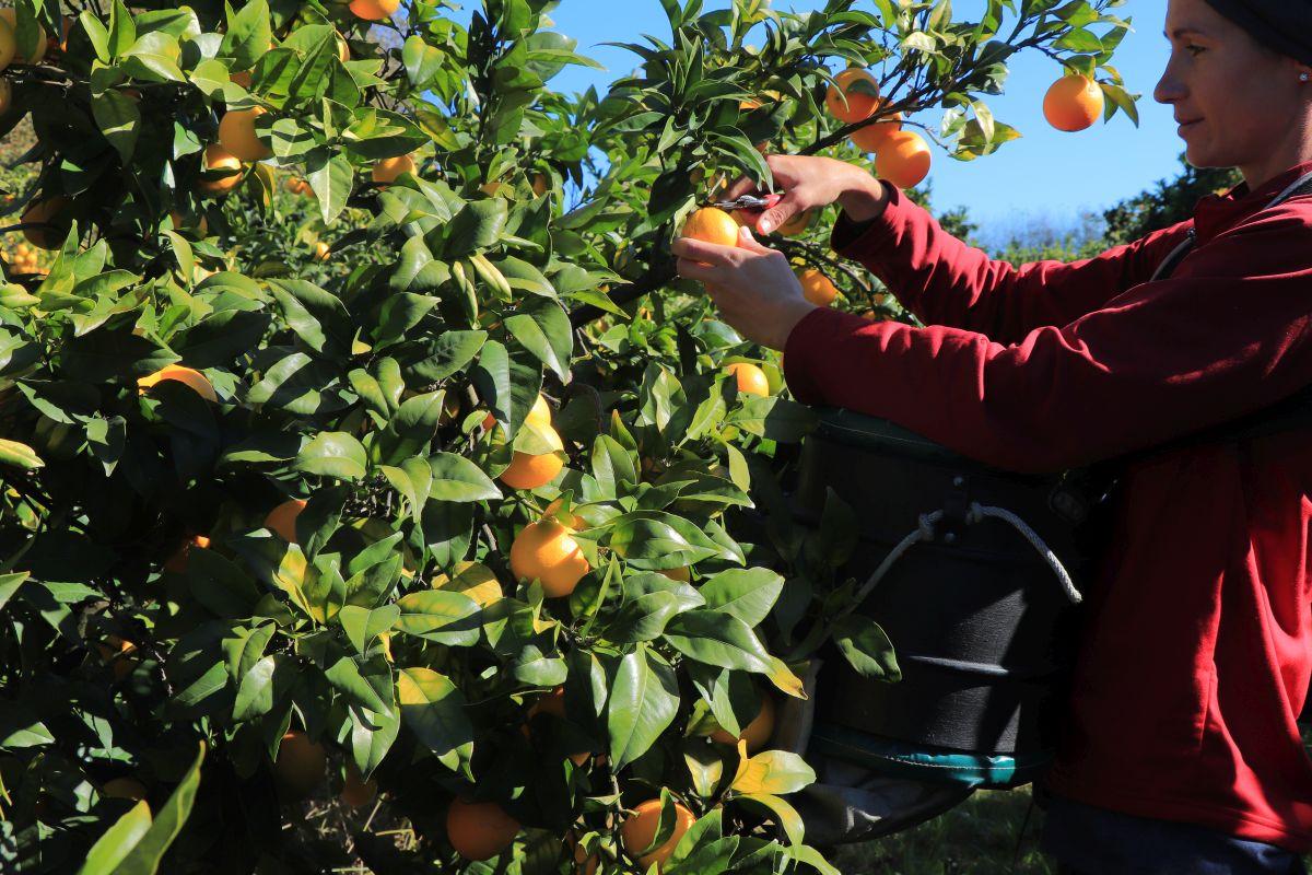 Sběr citrusů na Novém Zélandu - kdy, kde, jak a za kolik